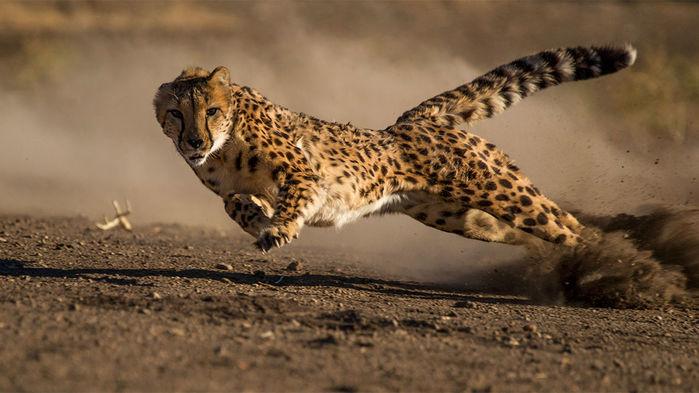 cheetah_16x9